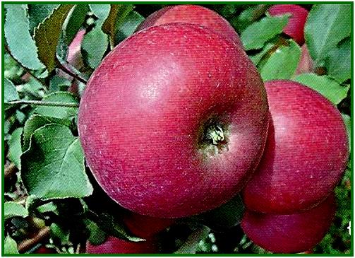 сорт вишневое фото яблоня