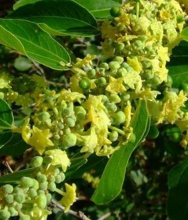 Смотреть Удивительно вкусный плод айва — Польза и вред для здоровья видео