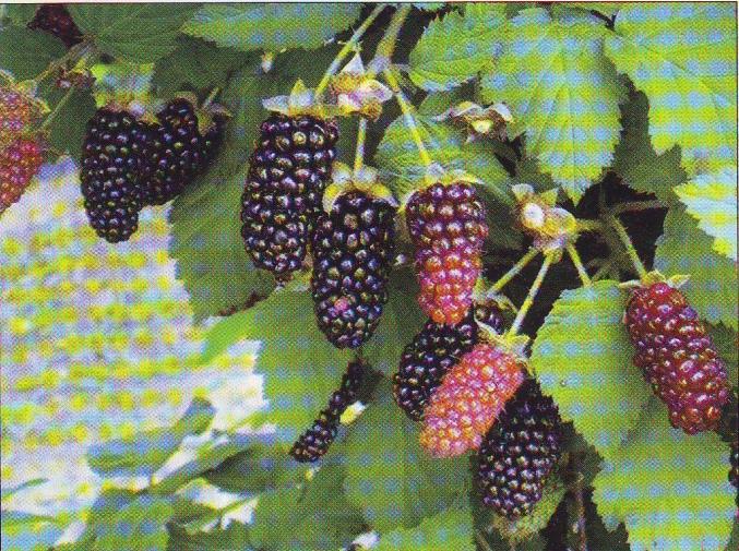 Дивный Сад - Новые перспективные сорта ежевики садовой