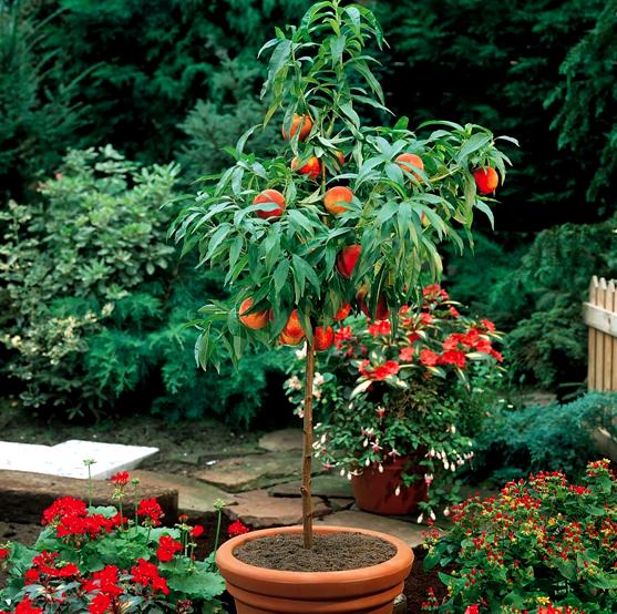 фото дерево нектарин