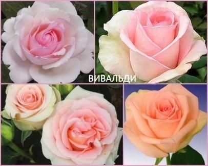 Лучшие срезочные сорта роз