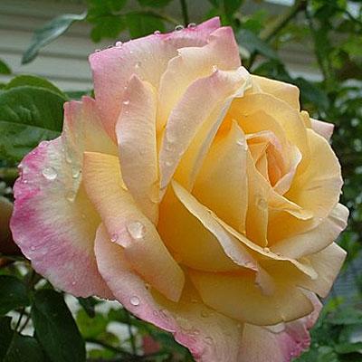 Роза глория дей клайминг