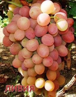 Сорта винограда выращиваемые в воронежской области
