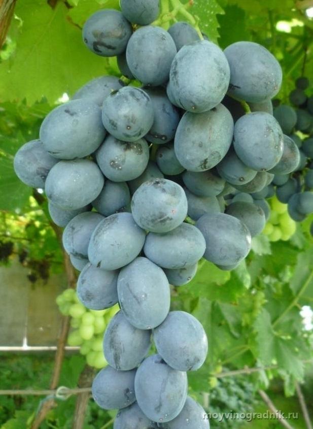 слов виноград руслан описание сорта фото менее